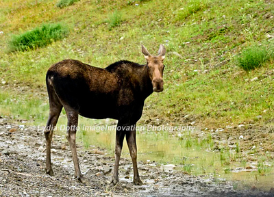 CANADIAN ROCKIES - near JASPER NATIONAL PARK.  A young bull moose beside the highway. [moose_7779]