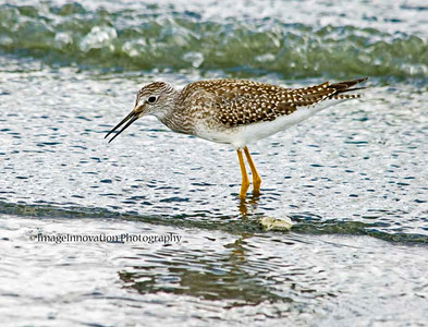 COOKING LAKE, ALBERTA. Greater yellowlegs. [yellowlegs_5963]