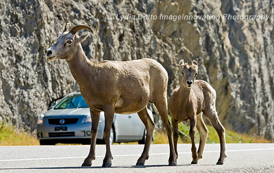 CANADIAN ROCKIES - JASPER NATIONAL PARK.  A female Rocky Mountain bighorn sheep and baby on the highway. [sheep_7323]