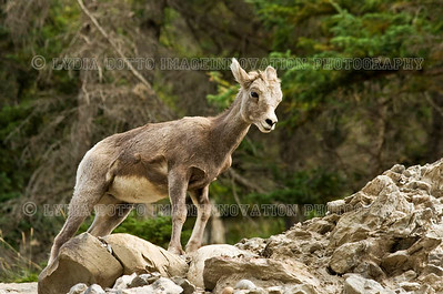 CANADIAN ROCKIES - JASPER NATIONAL PARK.  A baby Rocky Mountain bighorn sheep climbing a rocky cliff.   [SHEEP_7501]