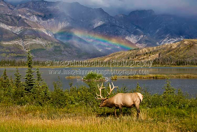 CANADIAN ROCKIES - JASPER NATIONAL PARK.  A male elk with full antlers grazing in front of a lake and mountain range with a double rainbow in the background.  [ELK_7757] [High-res sizes up to 10MP]