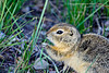 CALGARY, ALBERTA - Inglewood Bird Sanctuary. Richardson's ground squirrel (gopher) [gopher_5149]