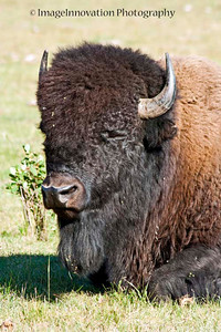 Male bison. ELK ISLAND NATIONAL PARK, ALBERTA, CANADA [bison_6226]