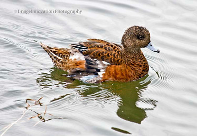 CALGARY, ALBERTA - Inglewood Bird Sanctuary. American Widgeon. [widgeon_4420]