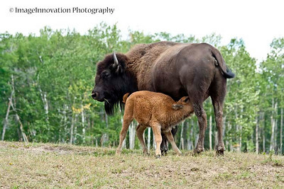 Female bison with calf. ELK ISLAND NATIONAL PARK, ALBERTA, CANADA [bison_6537]