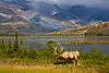 ELK (Cervus canadensis) A male elk with full antlers grazing in front of a lake and mountain range  in the Canadian Rockies with a double rainbow in the background.  Jasper National Park, Alberta, Canada  [ELK_7757]