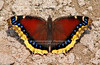 MOURNING CLOAK BUTTERFLY (Nymphalis antiopa) [butterfly_8252]
