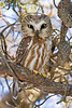 Saw-whet owl - full 