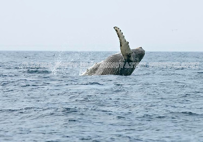 NEWFOUNDLAND - WITLESS BAY HUMPBACK WHALE breaching. [whalebreach_9320]