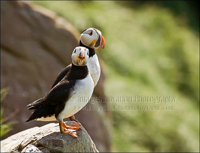 NEWFOUNDLAND - WITLESS BAY  ATLANTIC PUFFINS. Taken in Witless Bay Ecological Reserve This picture was published in Canadian Wildlife magazine Jan/Feb 2009. [puffins_8699]