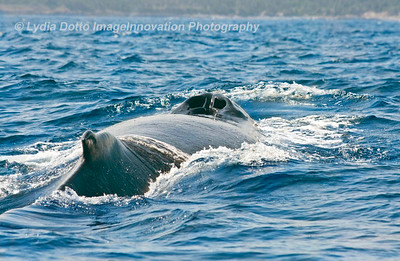 NEWFOUNDLAND - WITLESS BAY HUMPBACK WHALE breaks the surface of the water [humpback_9753]