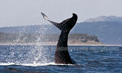 NEWFOUNDLAND - WITLESS BAY HUMPBACK WHALE tail with water spray.  [whaletail_9816]