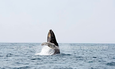 NEWFOUNDLAND - WITLESS BAY HUMPBACK WHALE breaching.  [whalebreach_6800]