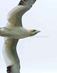 NEWFOUNDLAND - CAPE ST. MARY'S NORTHERN GANNET (Morus bassanus) in flight. Taken at Cape St. Mary's Ecological Reserve, Newfoundland. [gannet_6735]