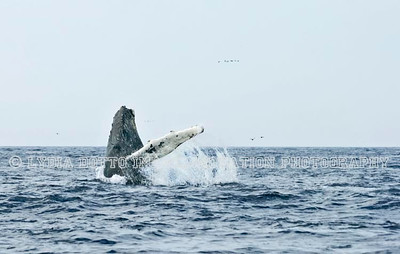 NEWFOUNDLAND - WITLESS BAY HUMPBACK WHALE breaching.  [whalebreach_9425]