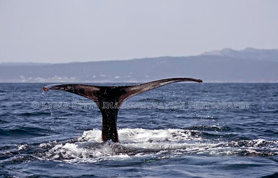 NEWFOUNDLAND - WITLESS BAY HUMPBACK WHALE tail with water spray.  [whaletail_9667]