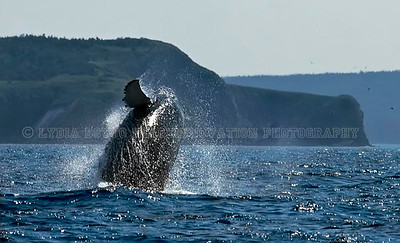 NEWFOUNDLAND - WITLESS BAY HUMPBACK WHALE breaching.  This picture was published in WILD magazine Jan/Feb. 2009 [whalebreach_9850]