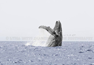 NEWFOUNDLAND - WITLESS BAY HUMPBACK WHALE breaching.  This picture was published in WILD magazine Jan/Feb. 2009 [humpback_9206]
