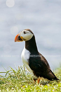 NEWFOUNDLAND - WITLESS BAY ATLANTIC PUFFIN. Taken in Witless Bay Ecological Reserve [puffin_8850]