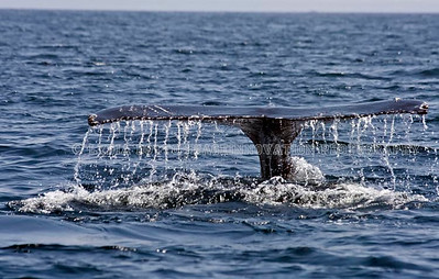 NEWFOUNDLAND - WITLESS BAY HUMPBACK WHALE tail with water spray.  [whaletail_9626]