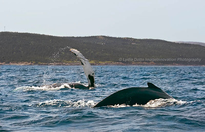 NEWFOUNDLAND - WITLESS BAY HUMPBACK WHALES frolic in the water [whales_9770]