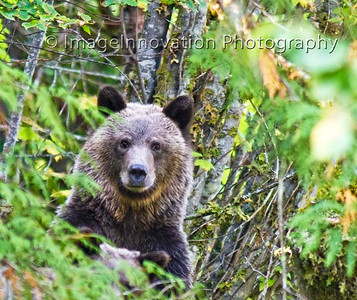Female grizzly bear, Bella Coola, BC