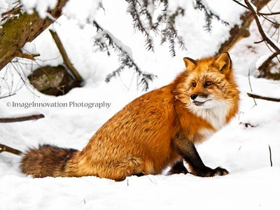 Red fox. Muskoka Wildlife Centre [fox_8935]