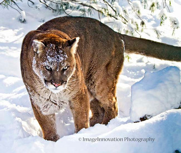 Cougar. Muskoka Wildlife Centre [cougar_8876]