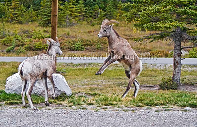 Young Rocky Mountain bighorn sheep in a mock fight - Banff National Park [sheep_1753]
