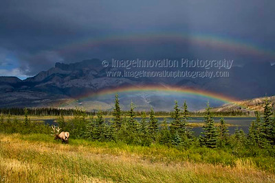 ELK (Cervus canadensis) A male elk with full antlers grazing in front of a lake and mountain range  in the Canadian Rockies with a double rainbow in the background.  Jasper National Park, Alberta, Canada  [ELK_7745]