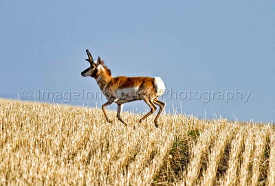 Male pronghorn antelope running across a wheat field - near Grasslands National Park, Sask. [pronghorn_1136]