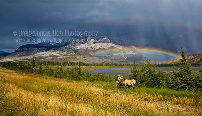 ELK (Cervus canadensis) A male elk with full antlers grazing in front of a lake and mountain range  in the Canadian Rockies with a double rainbow in the background.  Jasper National Park, Alberta, Canada  [ELK_7746]