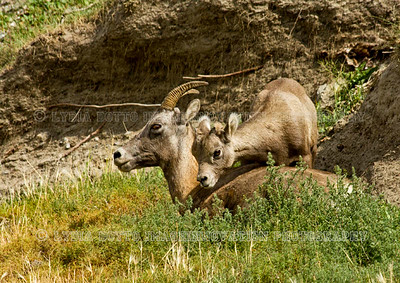 ROCKY MOUNTAIN BIGHORN SHEEP (Ovis canadensis) female and baby  Jasper Park, Alberta, Canada [sheep_7592]