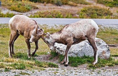Young Rocky Mountain bighorn sheep in a mock fight - Banff National Park [sheep_1758]
