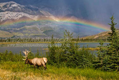 ELK (Cervus canadensis) A male elk with full antlers grazing in front of a lake and mountain range  in the Canadian Rockies with a double rainbow in the background.  Jasper National Park, Alberta, Canada  [ELK_7752]