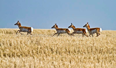 Small herd of female pronghorn antelope running across a wheat field - near Grasslands National Park, Sask. [pronghorn_1133]
