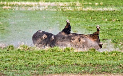 Bison wallowing in the dust -- Grasslands National Park [bison_1108]