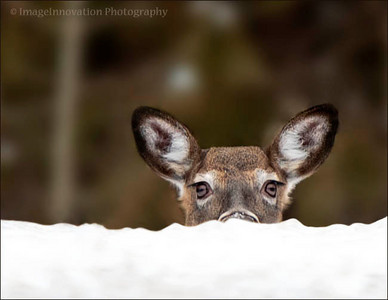White-tailed deer peering over snow on Ontario highway.