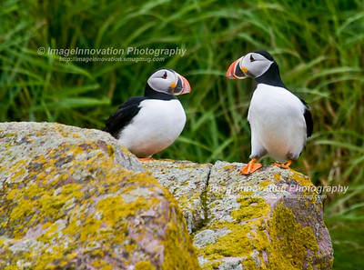ATLANTIC PUFFINS. Taken in Witless Bay Ecological Reserve, Newfoundland, Canada [puffin_6077]