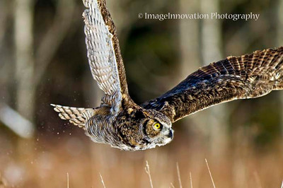 Great horned owl in flight. [Captive] [owl_8494]