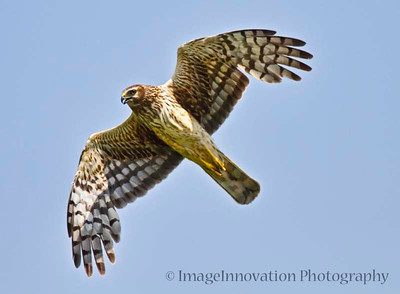Northern harrier (marsh hawk) flying over a field while hunting prey. Taken in Carden Alvar Important Bird Area, Ontario, Canada.  [harrier_5255]
