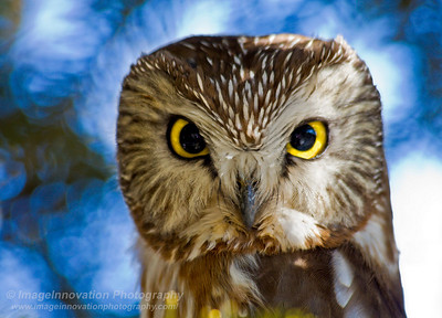 Saw-whet owl - portrait. Taken on Amherst Island, Ontario. [sawwhet_4826]