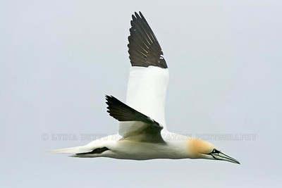 NORTHERN GANNET (Morus bassanus) in flight. Taken at Cape St. Mary's Ecological Reserve, Newfoundland, Canada [gannet_6800]