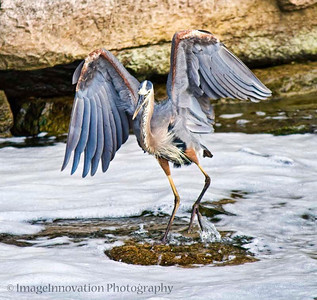 Heron hopping from rock to rock with wings spread. [heron_0558]