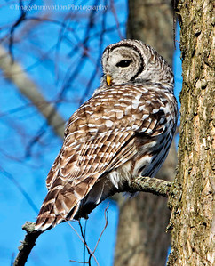 Barred Owl. Taken in Presqu'ile Provincial Park [barredowl_5065]