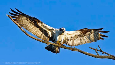 Osprey with wings spread and fish in claws.  [osprey_9524]