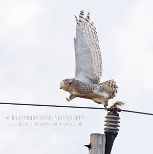 SNOWY OWL (Bubo scandiacus) taking flight from the top of a hydro pole. Taken on Amherst Island, Ontario, Canada [snowyowl_5143]