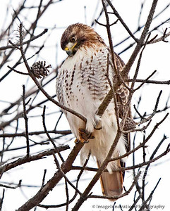RED-TAILED HAWK. Taken in Presqu'ile Provincial Park. [redtailedhawk_4737]