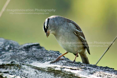 WHITE CROWNED SPARROW (Zonotrichia leucophrys) [sparrow_7620]