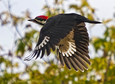 Pileated woodpecker in flight. Taken in Presqu'ile Provincial Park, Ontario, Canada. [woodpecker_6999]